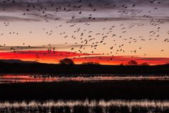 Snow Geese in Flight Silhouetted at Sunrise Stock Photos