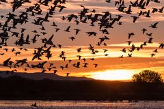 Snow Geese in Flight Silhouetted at Sunrise Stock Photo