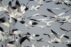 Snow Geese in Flight royalty free stock photos