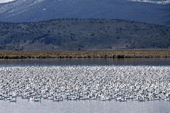 Snow Geese Flock  Royalty Free Stock Photography