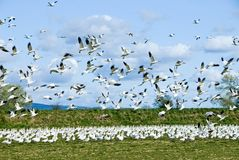 Snow Geese Flock Stock Photos