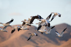 Snow geese flock closeup flying against mountain backdrop. Royalty Free Stock Photography