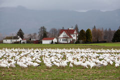 Snow geese flock on ground. Mt. Vernon, WA, USA Feb. 7, 2011: Snow geese Chen caerulescens gather in large numbers on Fir Island in Skagit county every winter Stock Image