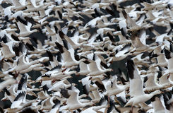 Snow Geese Flock In Flight Stock Photo