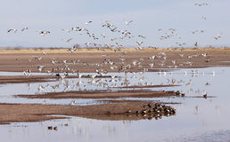 A Snow Geese Flock Lands in a Rural Landscape Royalty Free Stock Images