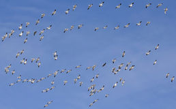A Snow Geese Flock Races Past in a Blue Sky Stock Photography