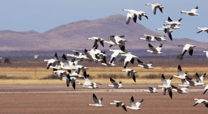 A Snow Geese Flock Races Past a Rural Landscape Royalty Free Stock Photos