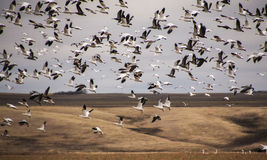Snow geese. A flock of snow geese during their  annual migration Stock Photo