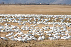 Snow Geese Flock Together Spring Migration Wild Birds Royalty Free Stock Photos