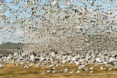 Snow Geese Flock Together Spring Migration Wild Birds Stock Photos