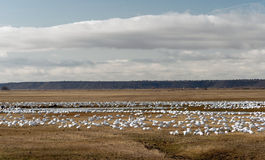 Snow Geese Flock Together Spring Migration Wild Birds Stock Photo
