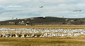 Snow Geese Flock Together Spring Migration Wild Birds Royalty Free Stock Photography