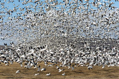 Snow Geese Flock Together Spring Migration Wild Birds Royalty Free Stock Image
