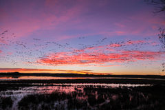 Snow Geese Flocks at Sunrise Stock Images