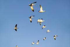 Snow geese fly against blue sky over the Bosque del Apache National Wildlife Refuge, near San Antonio and Socorro, New Mexico Royalty Free Stock Photo