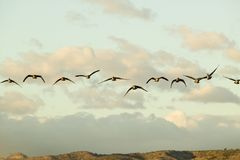Snow geese fly in formation over the Bosque del Apache National Wildlife Refuge, near San Antonio and Socorro, New Mexico Royalty Free Stock Photography