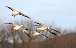 Snow Geese Fly In For Landing Royalty Free Stock Photos