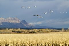 Snow Geese Fly Over Corn Field At The Bosque Del Apache National Wildlife Refuge, Near San Antonio And Socorro, New Mexico Royalty Free Stock Images