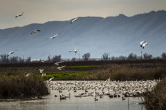 Snow geese fly-in, Sacramento National Wildlife Refuge Royalty Free Stock Photos
