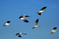 Snow geese flying Stock Photos