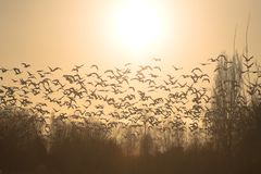 Snow geese flying. Flock of snow geese flying during sunset Royalty Free Stock Images