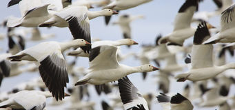 Snow Geese Flying. Close-up of snow geese flying Royalty Free Stock Photography