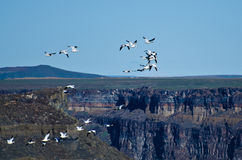 Snow Geese Flying Above the Canyon Stock Images
