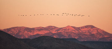 Snow geese flying across mountain top at sunrise. Stock Images