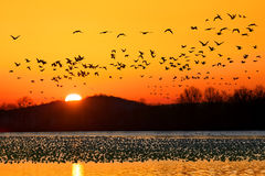 Snow Geese Flying At Sunrise Royalty Free Stock Photography