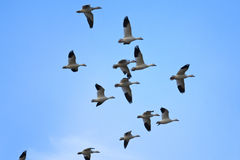 Snow geese flying in formation Stock Images