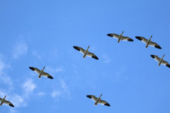 Snow geese flying in formation Stock Image