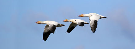Snow Geese Flying Formation - Migration.  Canada Royalty Free Stock Image