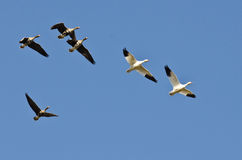 Snow Geese Flying with Greater White-Fronted Geese in a Blue Sky Stock Image
