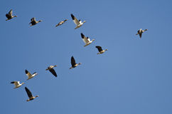 Snow Geese Flying with Greater White-Fronted Geese in a Blue Sky Stock Images