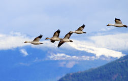 Snow Geese Flying Mountains Skagit Valley Washington Royalty Free Stock Photos