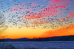 Snow Geese Flying Over Frozen Lake Royalty Free Stock Photos
