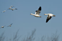 Snow Geese Flying Over the Marsh on a Sunny Day Stock Photos
