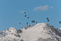 Snow Geese. Flying over mountains in Alaska Stock Photo
