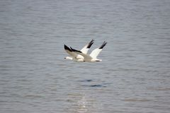 Snow geese flying over water. Two snow geese flying over the water royalty free stock image
