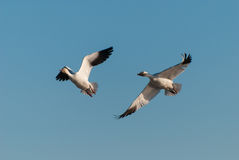 Snow Geese. Flying in the spring sky Stock Photo