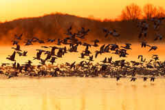 Snow Geese Flying at Sunrise stock photography