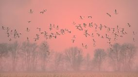 Snow geese in fog at sunrise royalty free stock photos