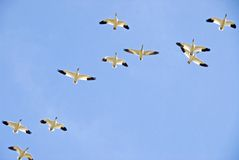 Snow Geese Formation Royalty Free Stock Photos