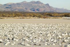 Snow geese on frozen field at the Bosque del Apache National Wildlife Refuge, near San Antonio and Socorro, New Mexico Stock Photos