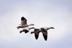 Snow geese and goslings in flight. Snow geese and three goslings in flight Royalty Free Stock Photo