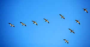 Snow Geese In Blue Sky Royalty Free Stock Images