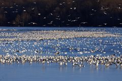 Snow Geese on the Lake Royalty Free Stock Image