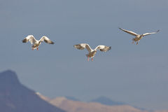 Snow Geese Landing Royalty Free Stock Photos
