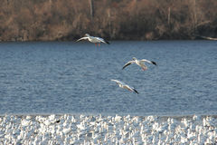 Snow Geese Landing Royalty Free Stock Photo