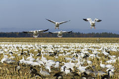 Snow geese landing Royalty Free Stock Photos